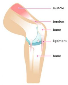 ligaments2